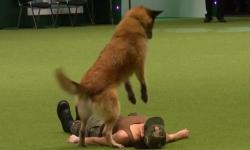 Cão aprende a fazer massagem cardíaca e pode ser opção de salvamento
